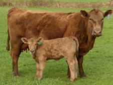 cow-calf-small
